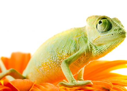 Chameleon green & orange wall mural